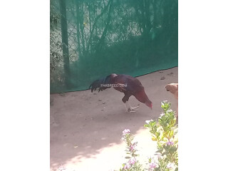 Aseel Rooster for sale Rs 11000 near G 10 Islamabad.