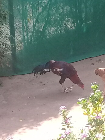 aseel-rooster-for-sale-rs-11000-near-g-10-islamabad-big-0