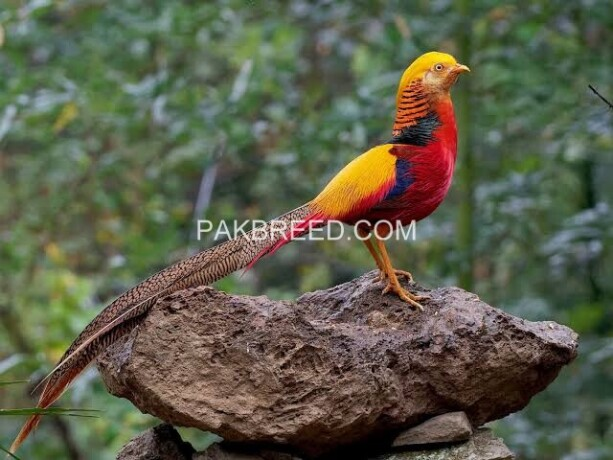 red-golden-pheasant-puthey-pair-big-2