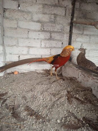 red-golden-pheasant-puthey-pair-big-1