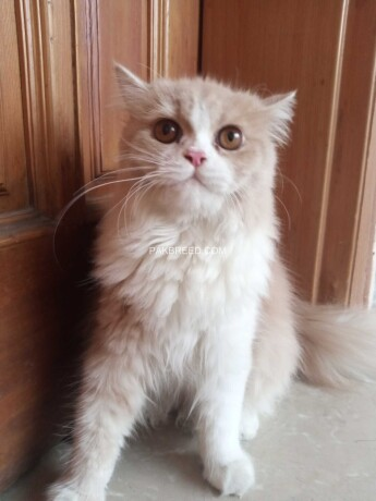 persian-kitten-for-sale-big-0