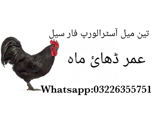 3 Male Australorp chickens For Sale
