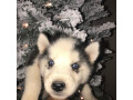 aluskie-puppies-for-rehoming-small-0