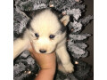 aluskie-puppies-for-rehoming-small-1