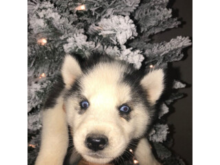 Aluskie puppies for rehoming