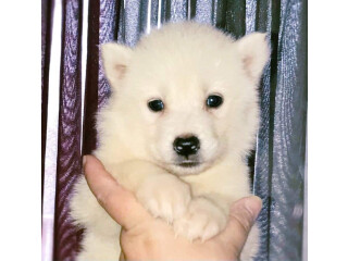 Rare white Aluskie puppie for re-home