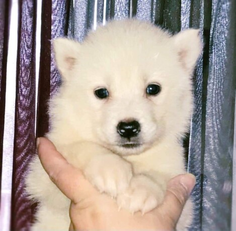 rare-white-aluskie-puppie-for-re-home-big-0