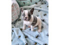 french-bulldogs-small-3