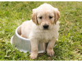 golden-retriever-small-3