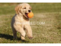 golden-retriever-small-0