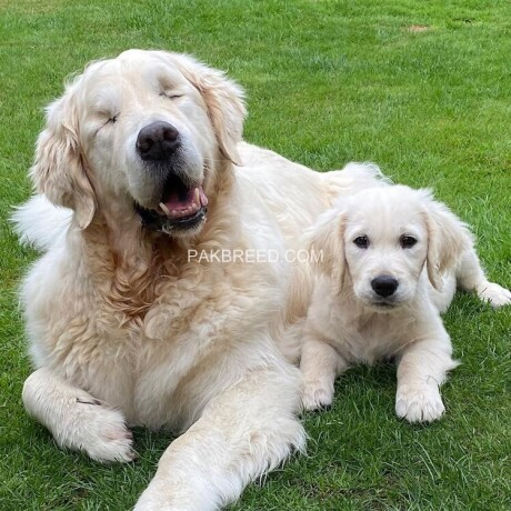 golden-retriever-big-1