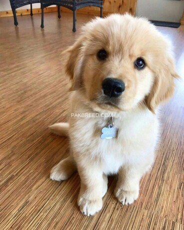 golden-retriever-big-4
