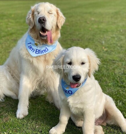 golden-retriever-big-2
