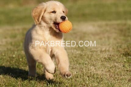 golden-retriever-big-0