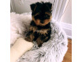 teacup-yorkie-puppies-for-sale-small-2