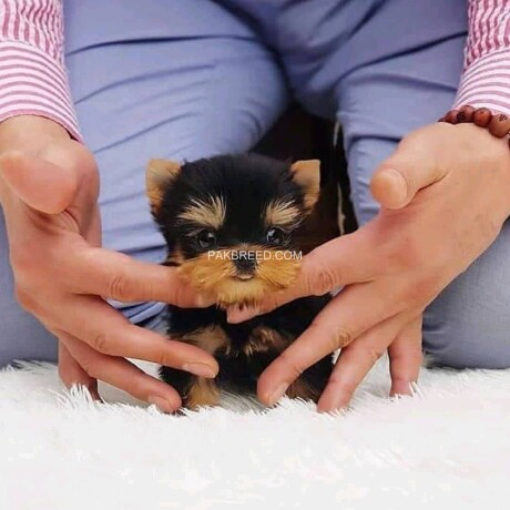 teacup-yorkie-puppies-for-sale-big-4