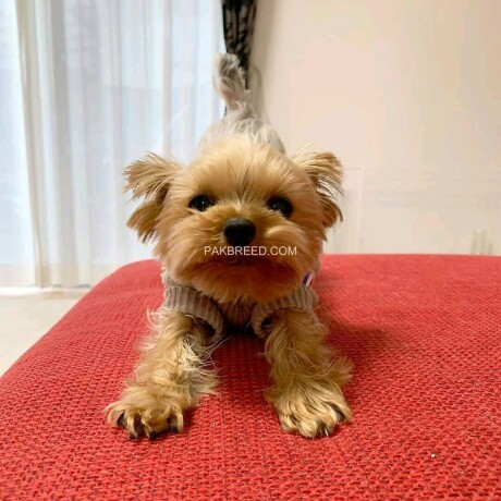 teacup-yorkie-puppies-for-sale-big-3