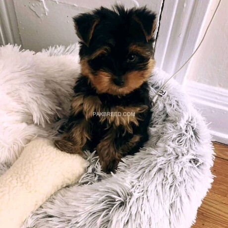 teacup-yorkie-puppies-for-sale-big-2